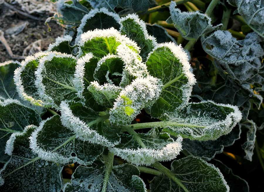 Plant Freeze Damage & Bacterial Canker