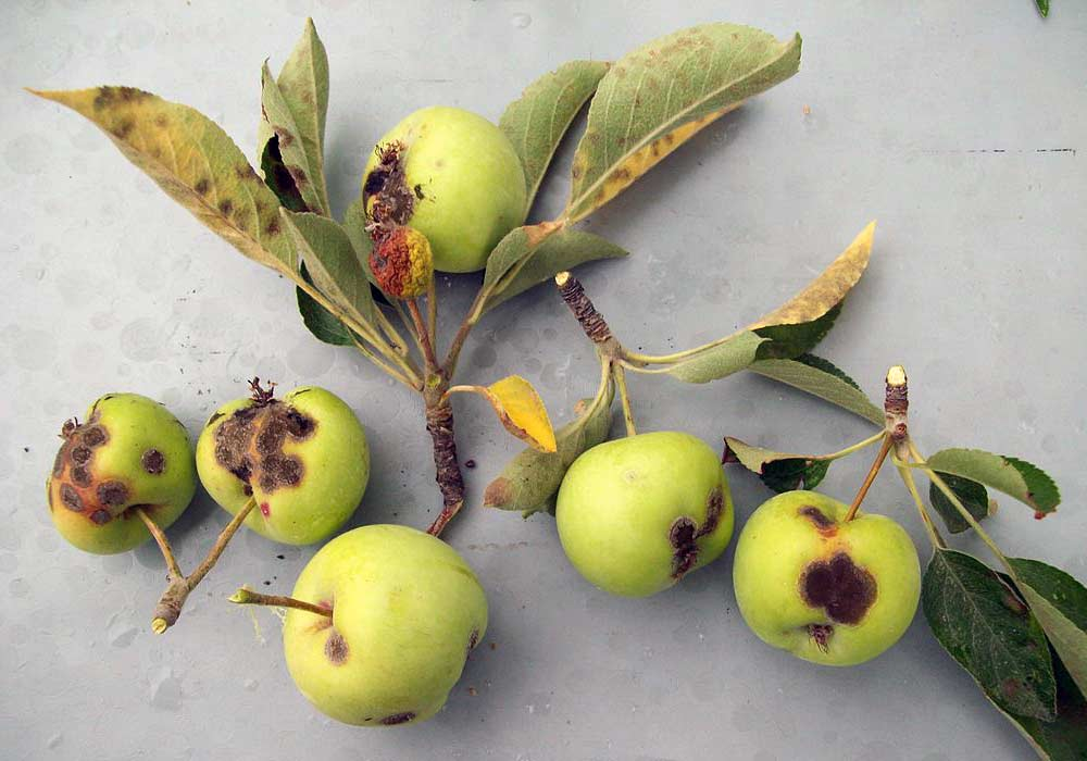 Apple Scab at Various Stages of Development