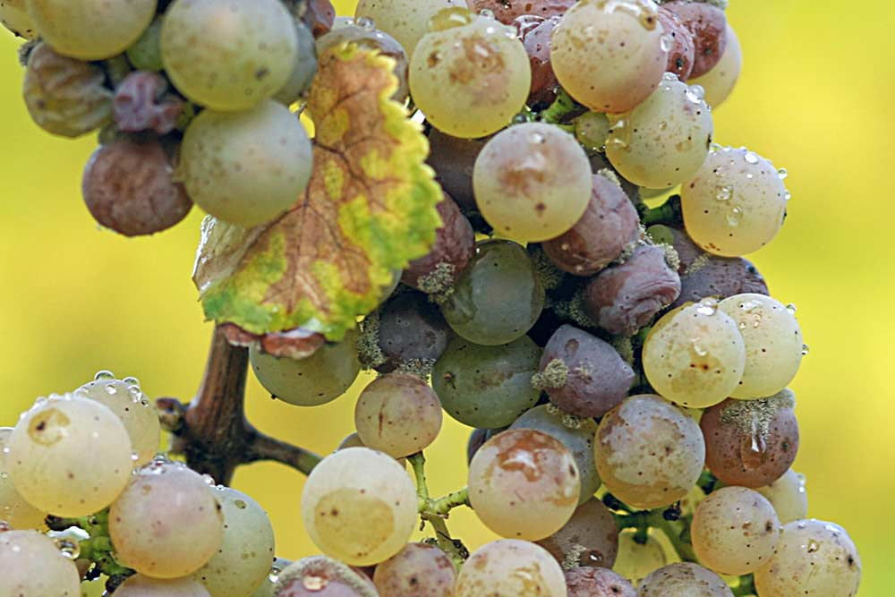 Riesling Grapes Infected with Gray Mold / Botrytis Blight