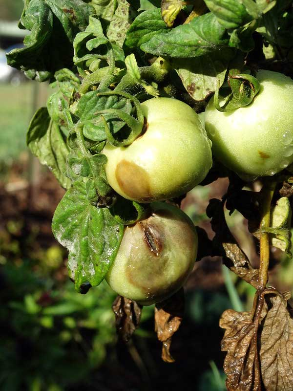 Tomato Plant Infected with Late Blight Disease